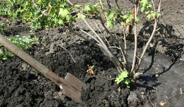 Садоводы не рекомендуют пересаживать смородину весной