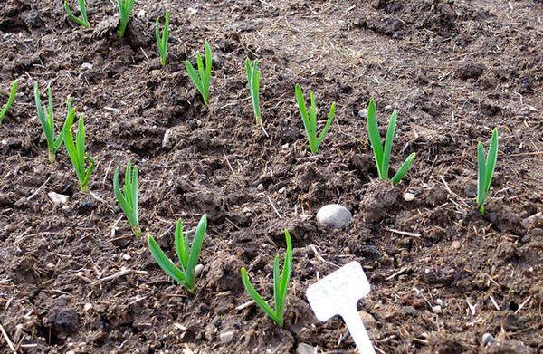 Лучше всего чеснок растет на плодородных суглинках