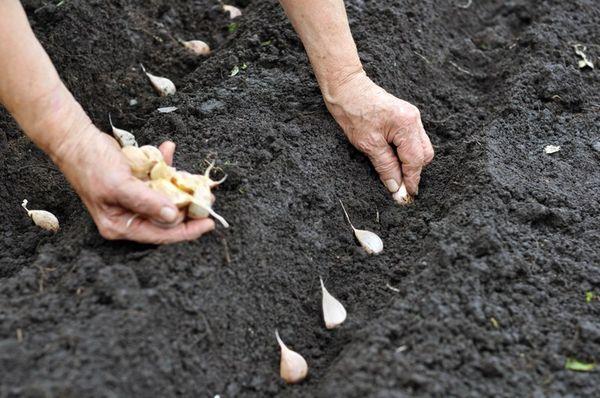 Крупные зубки сажают через каждые 10 – 15 см