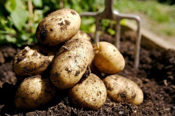 Чеснок на месте картофеля может заболеть фузариозом