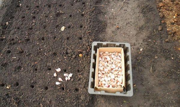 Формирование грядки чеснока на огороде