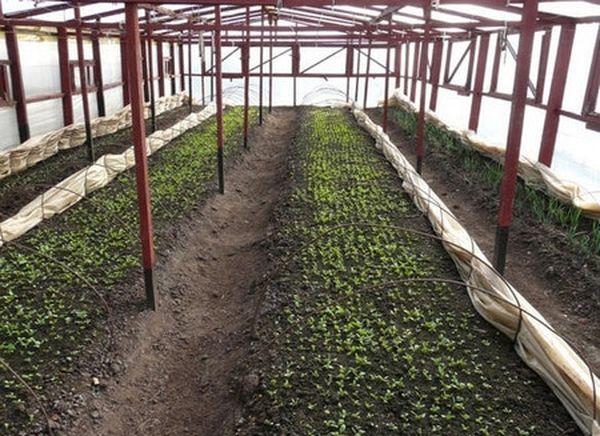 Редис начинают сеять с апреля