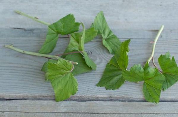 Зеленые черенки смородины на посадку