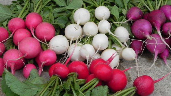 Редиска – очень популярная у огородников однолетняя культура