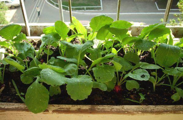 На балконе можно вырастить крупный редис