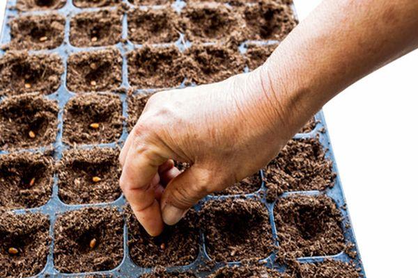 Высев семян домашнего редиса