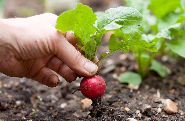 При правильном уходе урожай редиса будет богатым