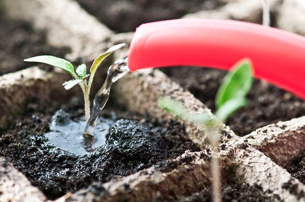 Редис будет развиваться только при регулярном поливе