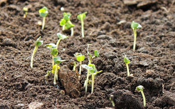 Посев редиса не стоит откладывать на конец весны