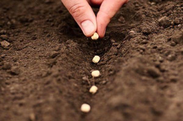 Посадка чеснока семенами – процесс несложный