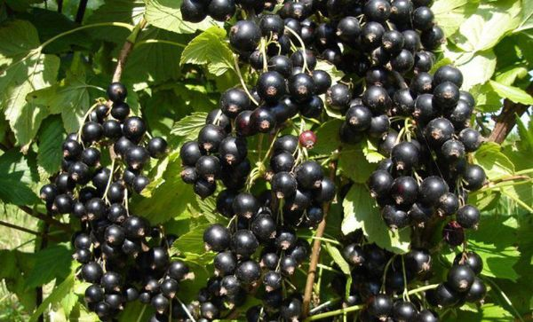 Сорт черной смородины Венера