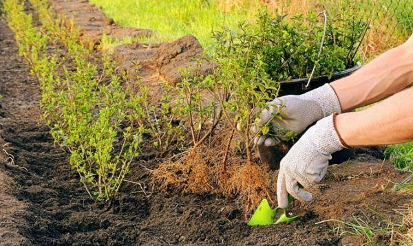 Сажать сорт Черный жемчуг можно весной и осенью