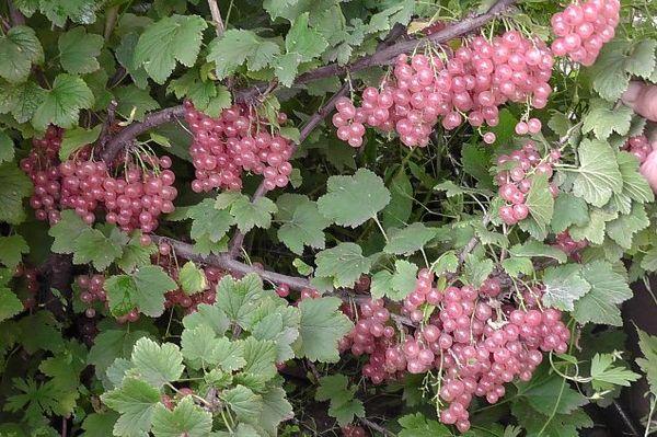 Ягоды Голландской розовой чаще употребляются в свежем виде