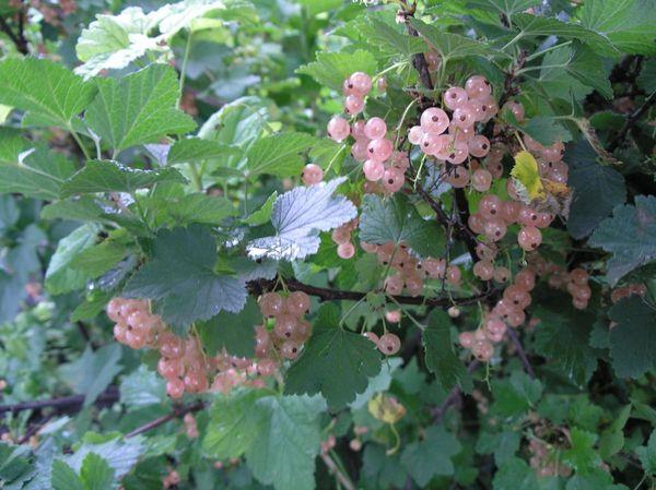 У Голландской розовой высокая устойчивость к болезням