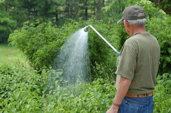 Правильный полив красной смородины