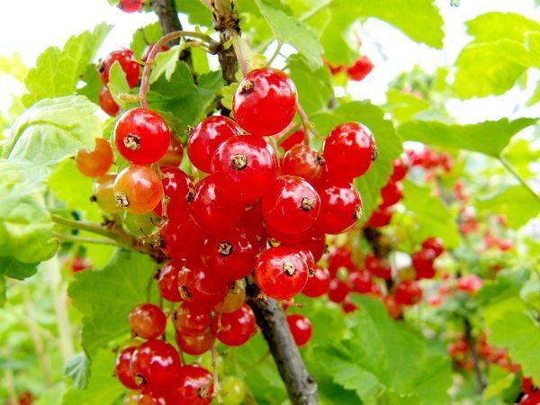 Красная смородина сорта Мармеладница