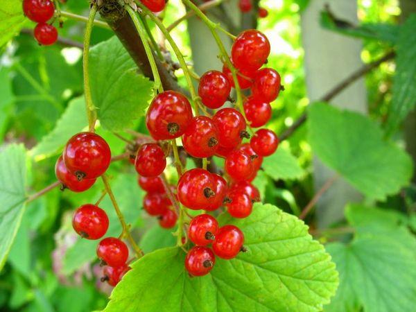 Красная смородина сорта Сара