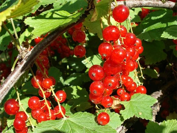Красная смородина сорта Уральская красавица