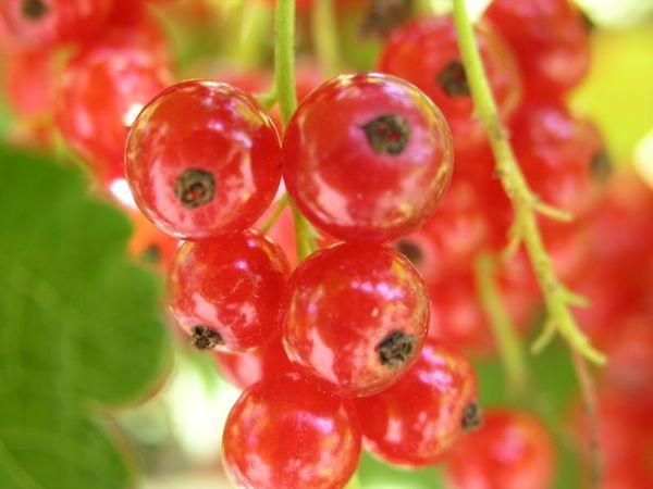 Красная смородина сорта Первенец