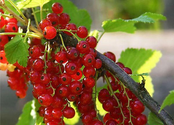 Красная смородина сорта Нива