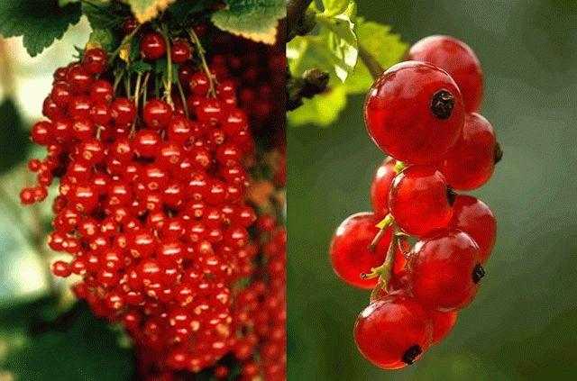 Красная смородина сорта Валентиновка
