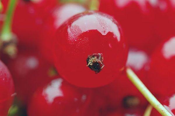 Красную смородину чаще садят осенью, нежели весной