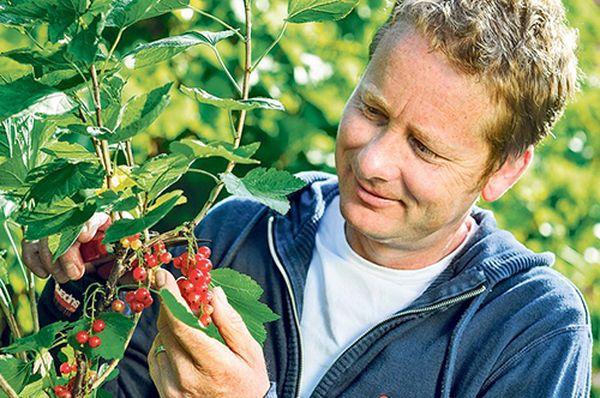 Без правильного ухода красная смородина не будет давать много плодов