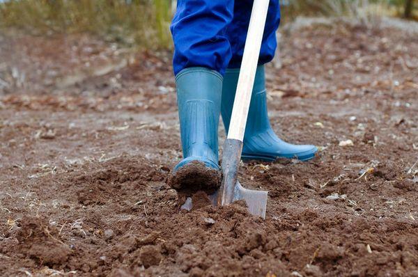 Перед посадкой нужно хорошо перекопать землю
