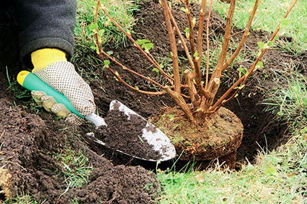 Смородина Нара: описание сорта раннего срока созревания, правила ухода и выращивания 11