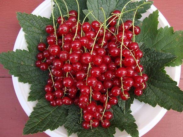 Смородина «Натали» порадует богатыми урожаями