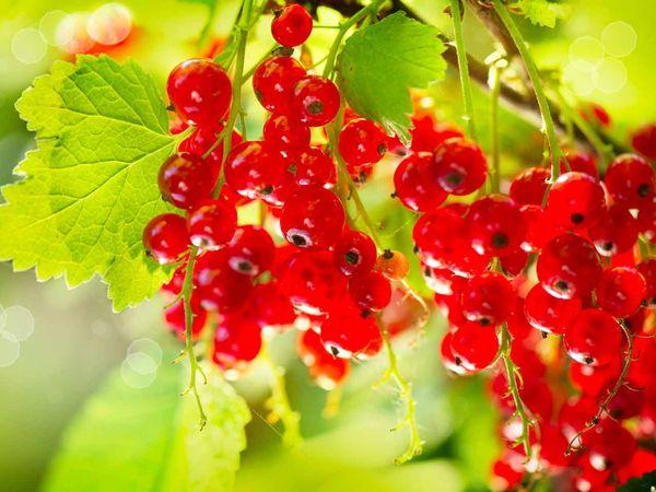 Плоды Натали созревают во второй половине июля