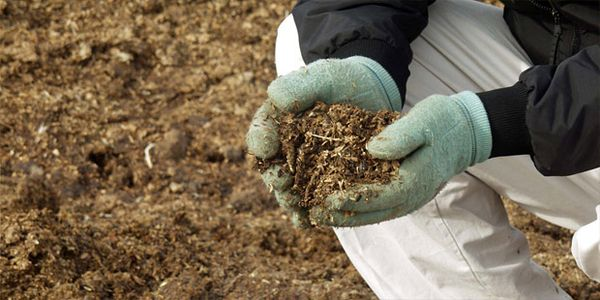 После посадки смородины ее удобряют