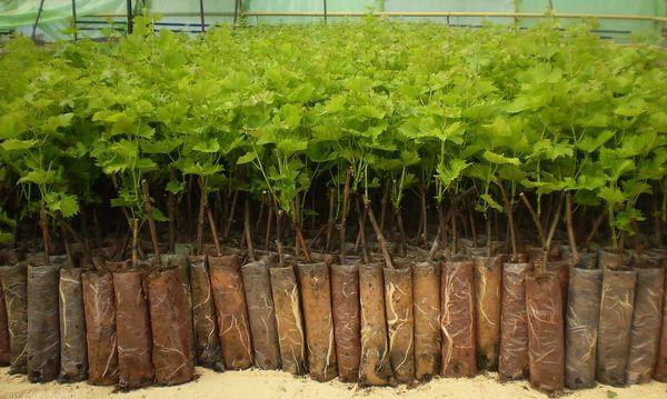 Высаживать черную смородину лучше саженцами
