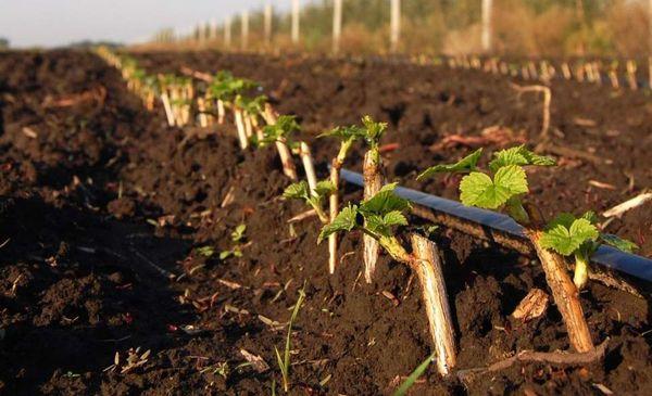 Сажать смородину нужно в подготовленную почву