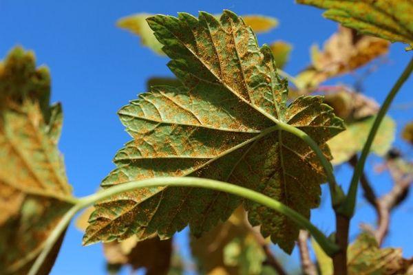 Кусты смородины опрыскивают табачным раствором