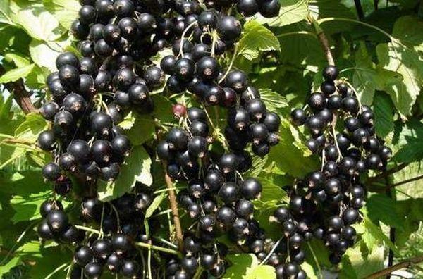 Черная смородина хорошо растет даже в полутени