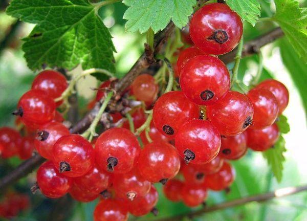 Уральскую красавицу рекомендуется выращивать на открытой местности