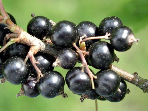 Созревание плодов Вологды неравномерное