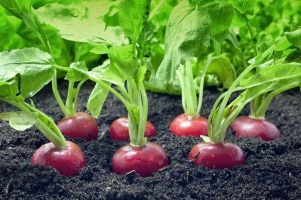 Для богатого урожая редис нужно удобрять