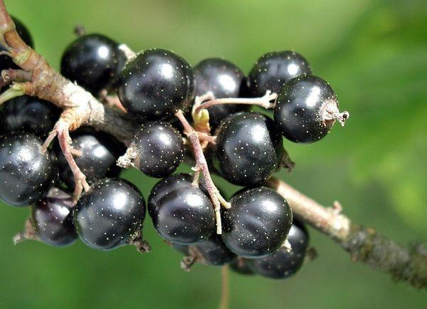 Урожайность смородины зависит от регулярных поливов