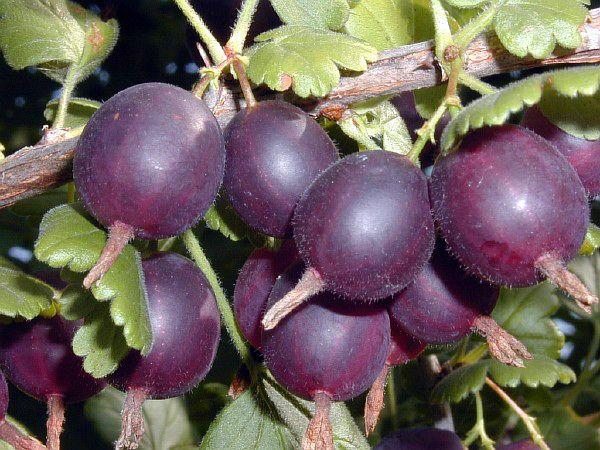 Средний вес ягод сорта Грушенька - 5 г