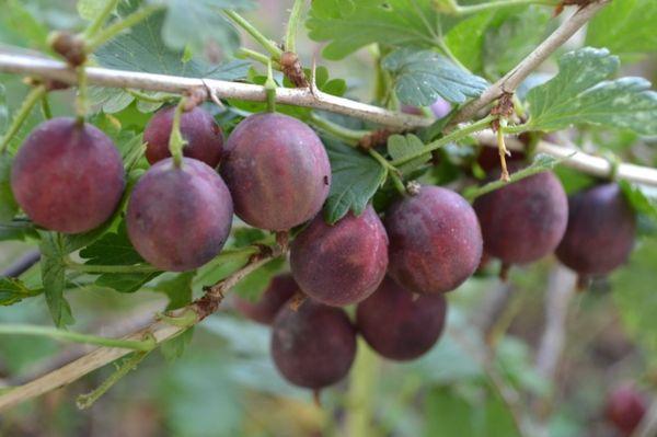 Ягоды Колобка имеют сочную, темно-вишневую мякоть