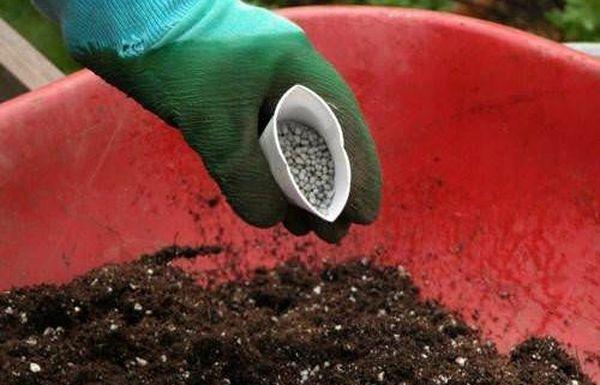 Для хорошего урожая необходимо удобрять смородину