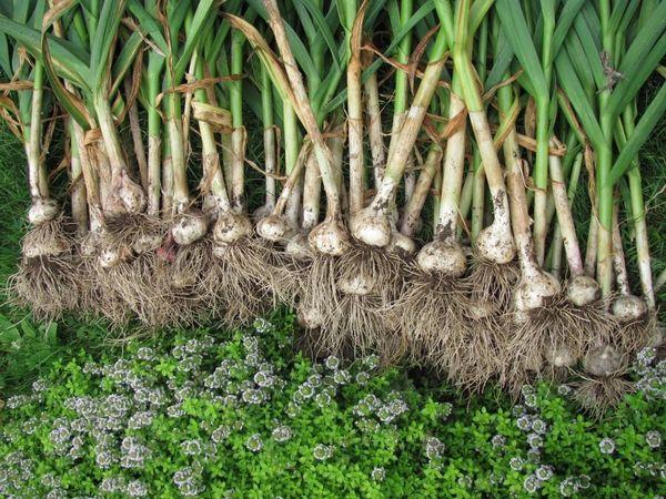 Чеснок - один из самых полезных продуктов в мире