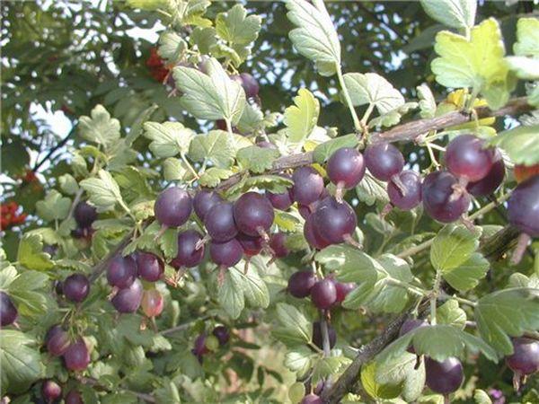 Йошта - многолетний ягодный кустарник