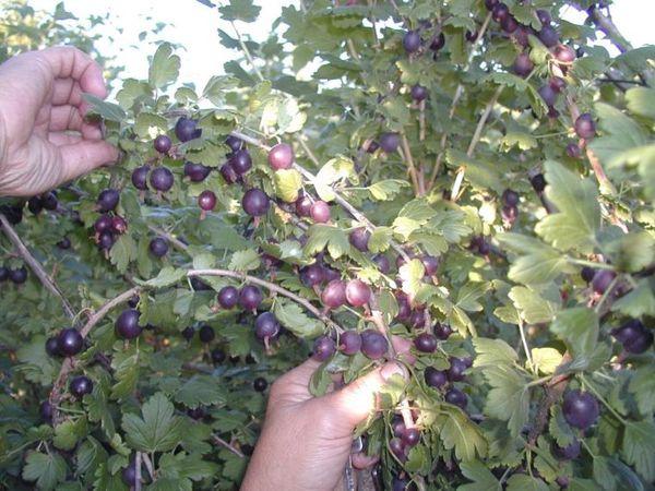 Плоды йошты темно-фиолетовые почти черные
