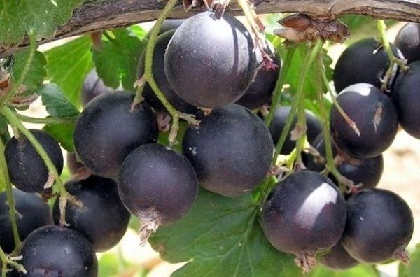 Плоды йошты довольно крупные (5–6 г)