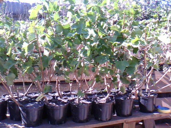 Саженцы гибридного растения цошта