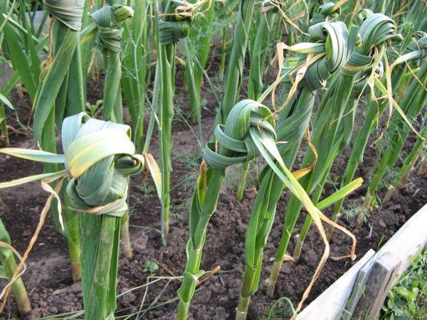Листья чеснока могут желтеть из-за пересушенной почвы