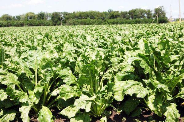 Выращивание кормовой свеклы происходит в открытом грунте